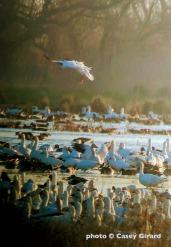 geese-birding1-15