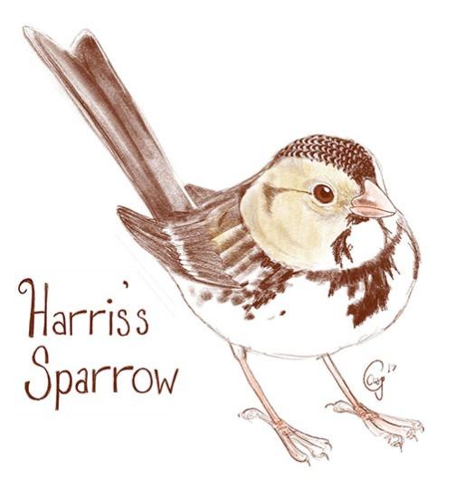 harrisssparrow-caseygirard