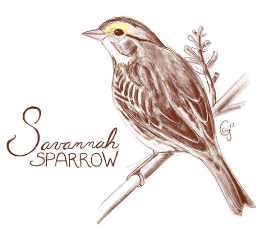 savannahsparrow-caseygirard