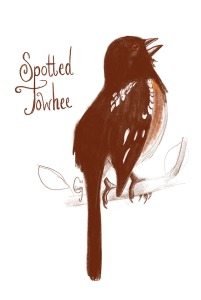 spottedtowhee-caseygirard
