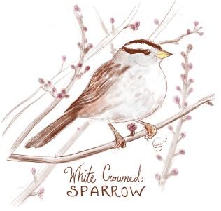 whitecrownedsp-caseygirard