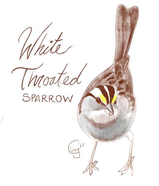 whitethroatedsparrow-caseygirard