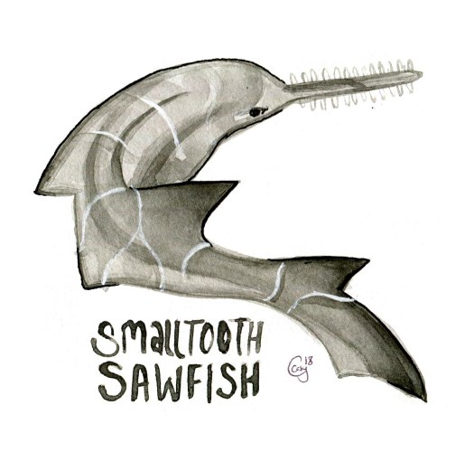 15 SmalltoothSawfish-caseygirard
