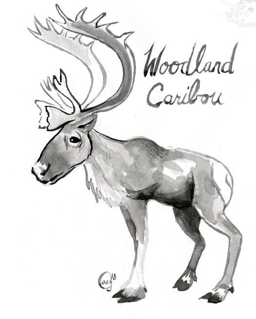 18 WoodlandCaribou-caseygirard