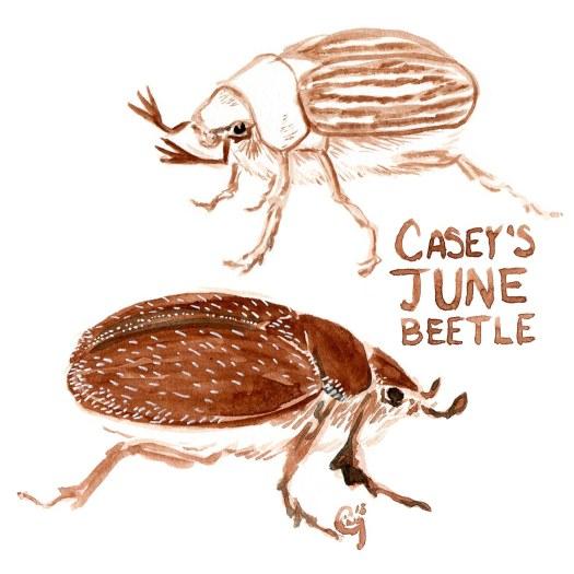 19 CaseysJuneBeetle-caseygirard