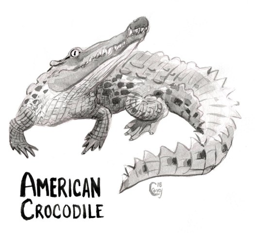 22AmericanCrocodile-caseygirard