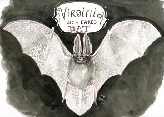 22VirginiaBigEaredBat-caseygirard
