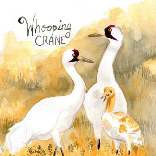 25-whoopingcranecaseygirard