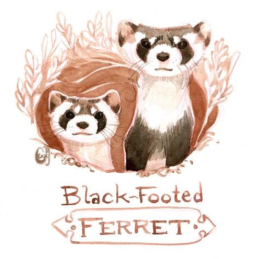 26 BlackFootedFerret-caseygirard