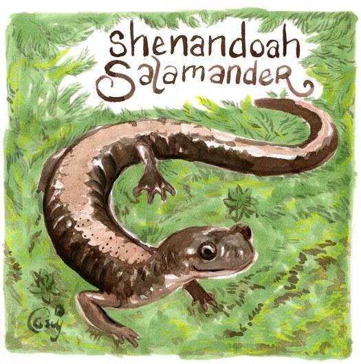 27 ShenandoahSalamander-caseygirard