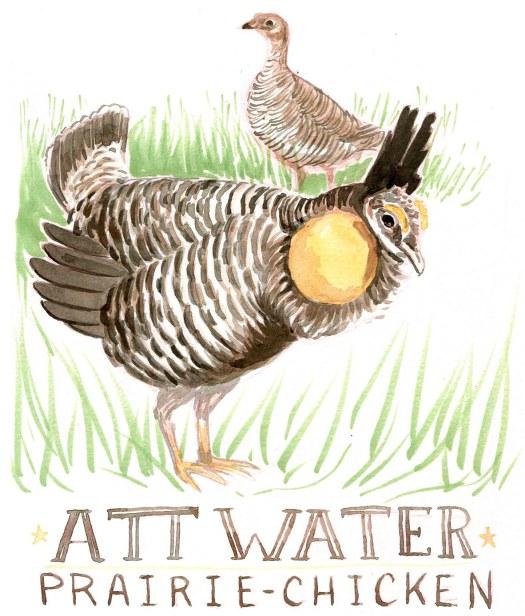 28AttwaterPrairieChicke-Caseygirard