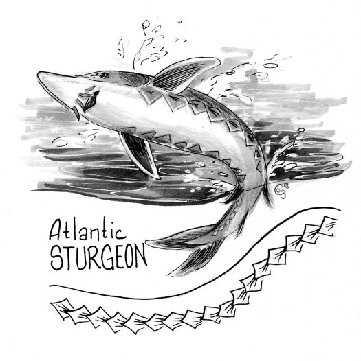 atlanticsturgeon001