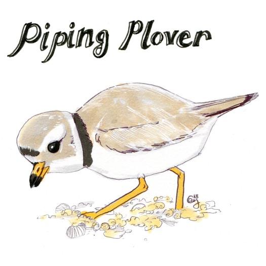 pipingplover-caseygirard