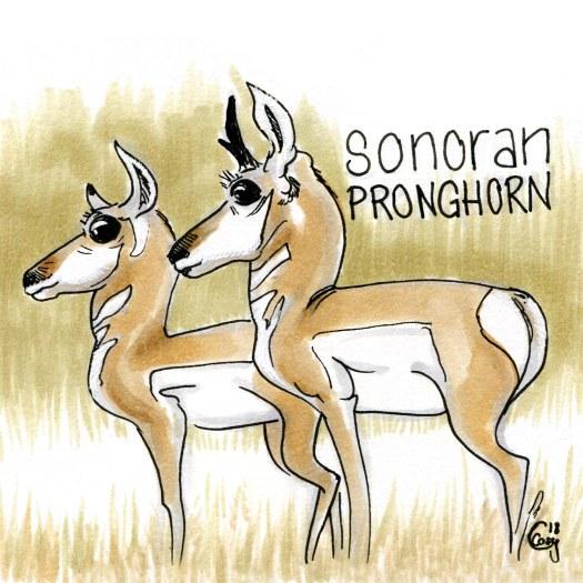 sonoranpronghorn-caseygirard
